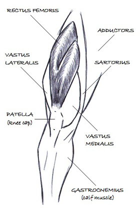 The rectus femoris